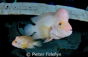 couple cichlids (cichlasoma citrinellum)in suitcase of ca... by Pieter Firlefyn