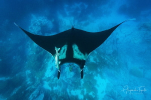 Mantaray with Rocks, Isla Socorro Mexico by Alejandro Topete
