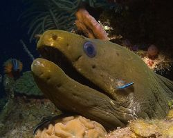 Moray with gobies and a strawberry tunicate. From Roatan,... by Jennifer Temple