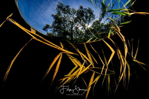 Reed in Snell's window, pond of Ekeren, Belgium by Filip Staes