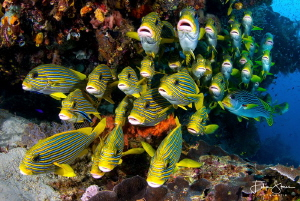 Sweetlips, Arborek, Raja Ampat by Filip Staes