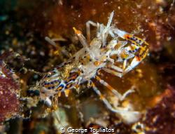 Tiger Shrimp!!! by George Touliatos