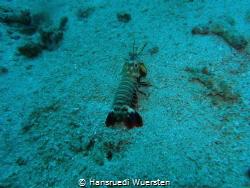 Mantis Shrimp on homeway by Hansruedi Wuersten