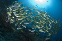 School of fish at Steve's Bommie on the Ribbon Reefs. by George Bouloukos