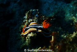another nudibranch, played with the lights a little more ... by Sophia Montemayor