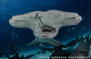 The winter months bring the Hammerheads in from deep wate... by Steven Anderson