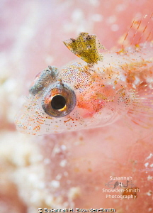 """Blushing"" - A triplefin blenny poses for its close up on... by Susannah H. Snowden-Smith"