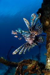 Lion Fish have now taken over most of the wrecks in Nassa... by Sally Thomson