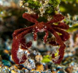 Orangutan Crab!!! by George Touliatos