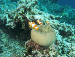 Clown fishs...whats they see ? by Hansruedi Wuersten