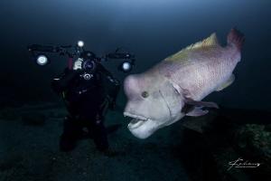 Diver taking picture for Asian sheepshead wrasse by Jinggong Zhang