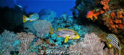 sweetlips were easy to be cought. Don't ask about the div... by Svetoslav Dimitrov