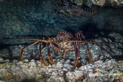 Lobster in a cave . by Claude Lespagne