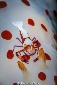 Emperor Shrimp by Plamena Mileva