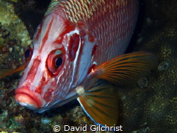 Sabre Squirrelfish Head on! by David Gilchrist