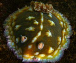 Mr. Lumpy. This Lumpy Sea Slug just happened to catch my ... by Mathew Cook