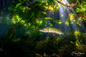 Pike under the trees, pond of Ekeren, Belgium by Filip Staes