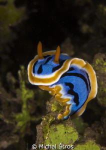 Chromodoris elisabethina by Michal Štros