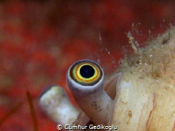Strombus persicus Cross-eyed snail in a conus by Cumhur Gedikoglu