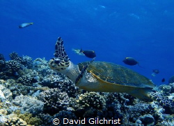 Hawksbill Turtle 'flying' over the reef in the Red Sea. by David Gilchrist
