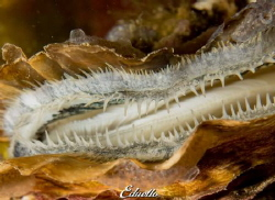 Japanse oester, crassostrea gigas by Eduard Bello