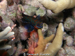 Mandarin in its normal environment Nightdive by Hansruedi Wuersten