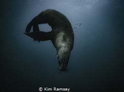 The Contortionist. Australian fur seal poses for the cam... by Kim Ramsay