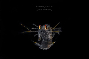 Post larval Mantis Shrimp in Blackwater by Wayne Jones