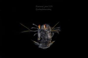 Post larval Mantis Shrimp in Blackwater by Wayne Jones