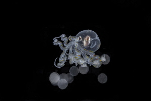 Wunderpus photogenicus larval stage by Wayne Jones