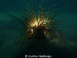 Pachycerianthus solitarius Photosphere by Cumhur Gedikoglu
