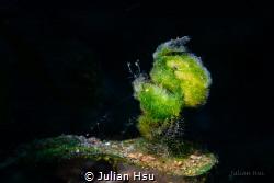 Green Algae Shrimp by Julian Hsu