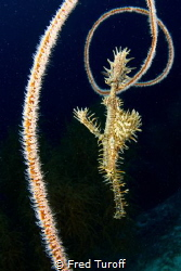 Spikes all around - I saw this ornate ghost pipefish floa... by Fred Turoff