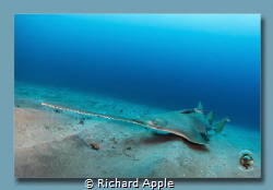Critically endangered so pretty rare opportunity and sigh... by Richard Apple