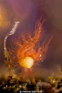Hairy shrimp with eggs. by Mehmet Salih Bilal