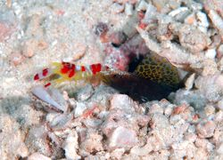 Black Sailfin Goby with red and white blind commensal sh... by Frankie Tsen