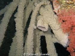 Sponges are animals of the phylum Porifera. They are mult... by Hansruedi Wuersten