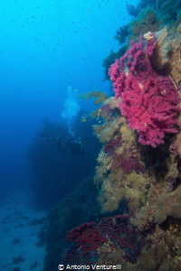 coloured gorgonians , Ustica Island by Antonio Venturelli