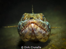 lizardfish was laying on a piece of a wreck, I could only... by Dirk Crutelle
