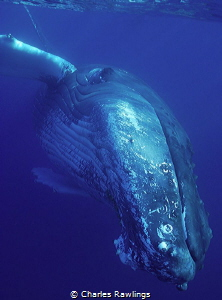 Hovering Humpback by Charles Rawlings