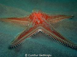 Astropecten aranciacus Red comb seastar by Cumhur Gedikoglu