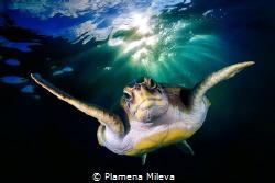 Turtle portrait by Plamena Mileva