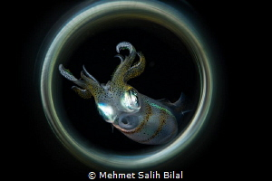 Squid at the night dive. by Mehmet Salih Bilal