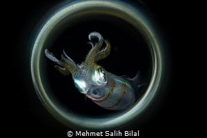 Squid at the night dive. by Mehmet Salih Bilal