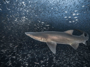 I captured a female sand tiger shark in a not-so-closely ... by Debbie Wallace