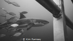 Imax - legendary great white shark of the Neptune Islands by Kim Ramsay
