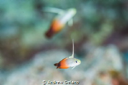 Watercolors Dart fish in the pastels of wide aperture by Andrew Delano