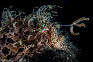 Fishing Hairy Frogfish by John Parker