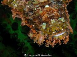 Scorpionfish by Hansruedi Wuersten