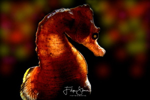 Short snouted seahorse, Zeeland, The Netherlands. by Filip Staes